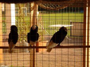 Volieren für Taubenuzüchter
