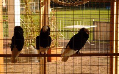 Volieren für Taubenuzüchter kurzfristig frei!