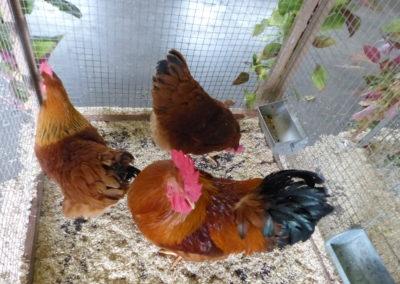 Voliere Hühner vom Partnerverein